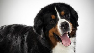 bernese-mountain-dog_03_lg